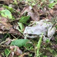 暖かくなりカエルも外へ?、草刈り・ヒメオドリコソウ