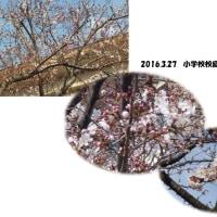 桜は・・・?