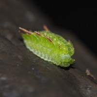 アカイラガ幼虫