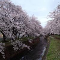 桜を求めてウォーキング(大和市編)