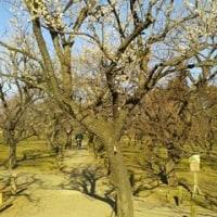 水戸偕楽園。3分咲きの。その2。(「水戸街道」をゆく。第6日目。)