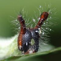 クロコノマチョウ幼虫