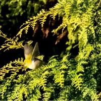 23/Apr  秦野の山から見た富士山と鳥と花