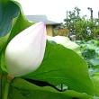 近江妙蓮-咲き終わった花は朽ち落ちない!種も無く、地下茎で増殖?
