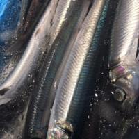 ぼちぼち、魚介系の美味しい季節