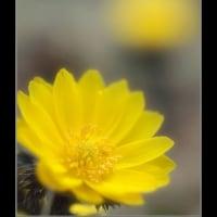 庭の福寿草