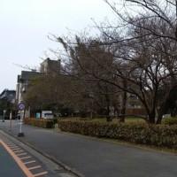 福岡の桜の開花はまだです