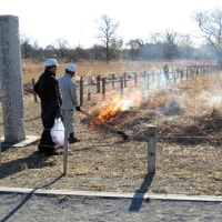 田島ケ原サクラソウ自生地の草焼きは無事終了しました