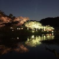 今日まで夜桜 三渓園