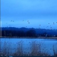 宮島沼のマガンと森のカタクリ
