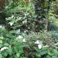 白い葉がすすしげなハンゲショウ(半化粧)/キンリョウヘンも半日陰の樹の下で夏越し