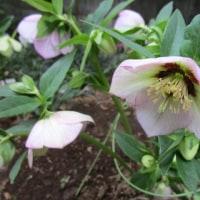 我家の庭の花 3月中旬