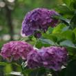170703/19_弘法山公園-1 <紫陽花>
