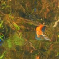 『翡翠』 水面に