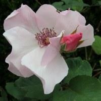 薔薇咲き始める