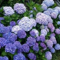レトロの紫陽花