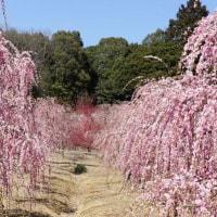 菅原神社の梅の花♪