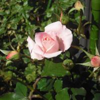 陽ざしで気持ち良さそう バラのマチルダ