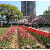 大阪造幣局 桜のくぐり抜け
