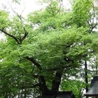 穂高の木ワンコの木 その弐