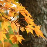 由布岳の紅葉真っ盛り(H28.11.6)