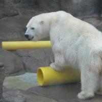 真っ赤なお鼻🎵の白熊みゆき