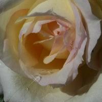 『秋の薔薇』 チャイコフスキー