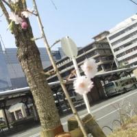 京都駅前のしだれ桜
