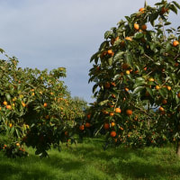果樹園便り
