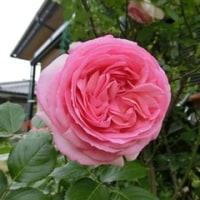 綺麗だった5月のバラ♪