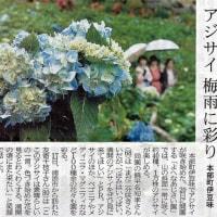 沖縄県茶飲み話し ☆アジサイ梅雨に彩り 本部町