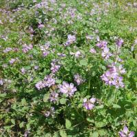 レンゲ農法米、蓮華草が綺麗にピンク色が増しています。
