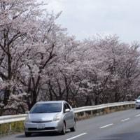 住みついて39年めの桜