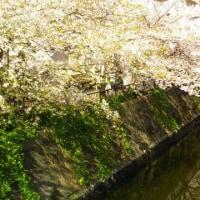 桜が散り始めました・・・