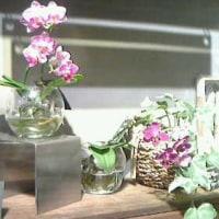 根洗いコチョウランだって!  胡蝶蘭の水栽培になんだかびっくり