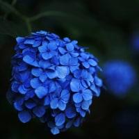 7月の紫陽花