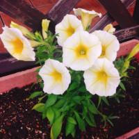 お花と大葉