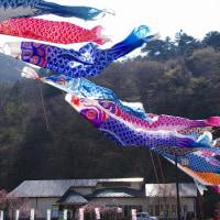 那須塩原市 板室の桜と鯉のぼり 29.4.24