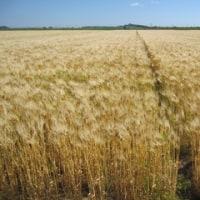 麦の栽培が始まります~麦の栽培講習会を実施~