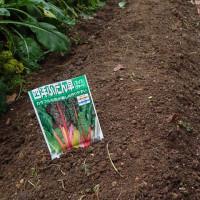 のらぼう菜収穫
