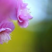 紅梅 (花 4235)