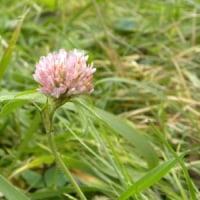 川の土手にムラサキツメクサの花