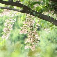 相模原市北公園のエゴの花とバラ