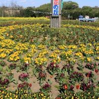 高崎 鼻高展望花の丘 菜の花2017