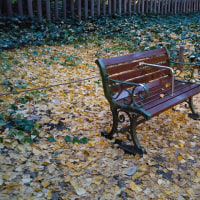 早朝の外苑イチョウ並木綺麗でしたよ!