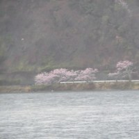 琵琶湖周遊 桜見物 雨で残念でした