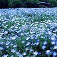 ネモフィィラ青の絨毯