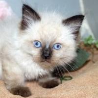 宮城県/福島県ペットショップでラグドール子猫をお探しなら