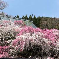 カナメ神宮 の 源平しだれ桃 と 枝垂れ桜