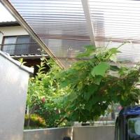 またまた、ブドウの蔓を駐車場の屋根に誘引